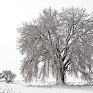 Frosted Cottonwoods by Greg Summers