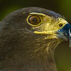 Harris Eagle by pcfyi
