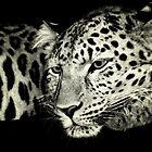 Zane....Amur Leopard by DoreenPhillips