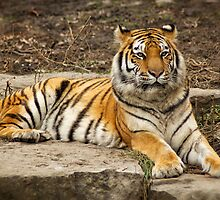 Siberian Tiger by Jeff Palm Photography