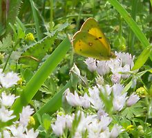 Butterfly in Wild Garlic Blooms by Navigator