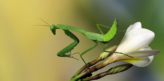 Mantis on Frangipani by jimmy hoffman