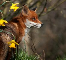 Fantastic Mr Fox by Matthew Walters