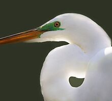 Great White Egret Up Close by Paulette1021