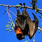 Flying Fox  Bat by Kym Bradley