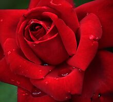 Red Rose by alycanon