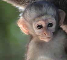 Baby vervet monkey by Jessica Henderson