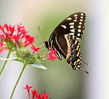 Swallowtail Butterfly by AuntDot