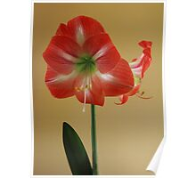Amaryllis in Texture Poster