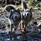 Husky Siblings by AngieBanta