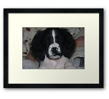 benson our springer spaniel at 8 weeks Framed Print
