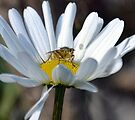 Daisy And Guest by lynn carter