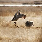 Monte Vista Sandhill Cranes 3 by KatsEyePhoto