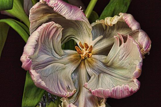 Cabbage Tulip by Wendi Donaldson
