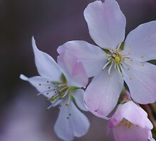 Spring Blossoms by Mike Warrilow