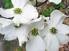 Flowering Dogwood Wildflower - Cornus florida by MotherNature