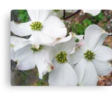 Flowering Dogwood Wildflower - Cornus florida Canvas Print