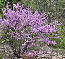 Red Bud Tree ~ Spring Is Here! by barnsis