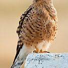 Greater Kestrel by Konstantinos Arvanitopoulos