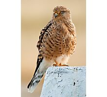 Greater Kestrel Photographic Print