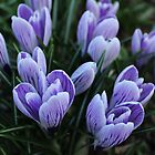 Crocuses by karina5