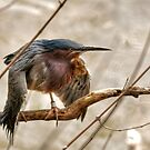 The Green Heron by Monte Morton
