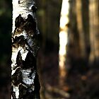 Silver Birch by WillOakley