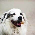 Australian Shepard by digiphotography