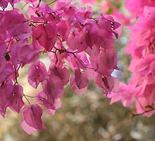 Bougainvillea  is a genus of flowering plants native to South America from Brazil . by Brown Sugar. Views - 366. by AndGoszcz