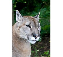 Portrait Of A Puma Photographic Print
