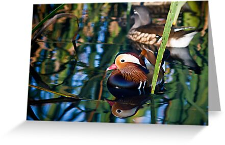 Reflections of a Mandarin Duck by Peta Thames