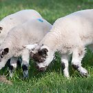 Three little lambs by elainejhillson