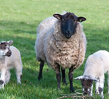 Spring ewe and lambs by elainejhillson