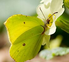 Brimstone on Primrose by Neil Bygrave (NATURELENS)