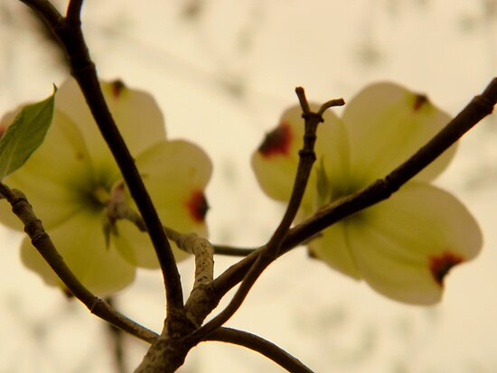 Dogwood Bloom- 2 by ctheworld