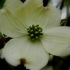 Dogwood Bloom -  6 by ctheworld