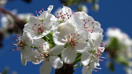 Kentucky Cherry Blossom Bouquet by Ron Russell