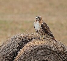 Red-tail on a Bale  by Bill McMullen