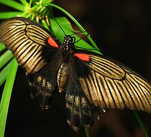 Great Mormon Female Butterfly by Shienna