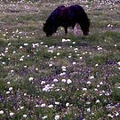 Black pony in a field of white poppies by Shiva77