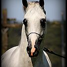 White Arabian Stallion by SylanPhotos