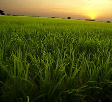 Sunset on the Paddy Field by Vincent Teh