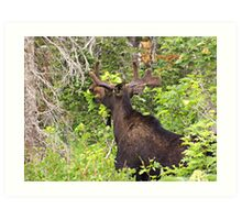 Bull Moose Eating From The Trees  Art Print