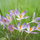 Crocuses by Lifeware
