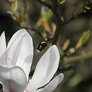 First Bumble Bee of Spring by Philip Bateman