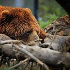 Kodiak by woodnimages