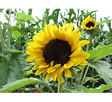 Two sunflowers Photographic Print
