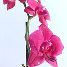 Moth Orchid. by Livvy Young