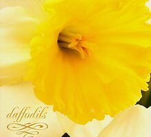 daffodils 2012 by thinkingoutloud