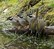 Strong Billed Honey eater Family portrait at pond by Ron Co